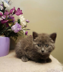 RUSSIAN BLUE  X KITTENS AVAILABLE!-  1 LEFT!