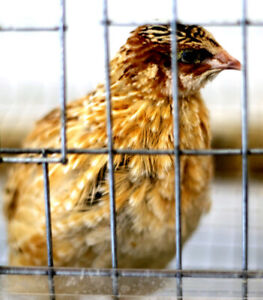 Quail chicks starting from $1.00