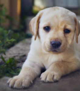 Looking for a Golden Labrador retriever!