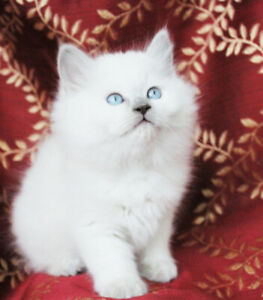 Beautiful Ragdoll Female Kittens for Rehoming