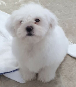 Male Maltese x puppy
