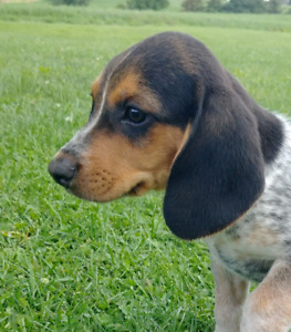 READY - Beagle Puppies - VACCINATED, VET CHECKED, PUPPY KIT