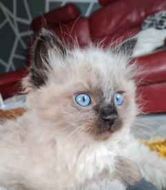 READY NOW- Ragdoll Kittens - 2 remaining