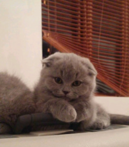 Amazing price for a Pure breed Scottish fold!!! Reg. in CCA!