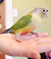 VARIOUS HAND FED BABY CONURES AVAILABLE