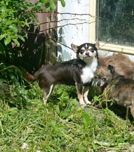 Retired adult Chihuahuas looking for Forever homes