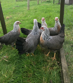 Pure bred bantams and ducks for sale (hens chickens poultry)
