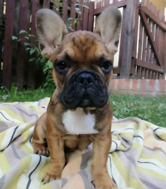 French Bulldog puppies for sale. Only 2 left!!