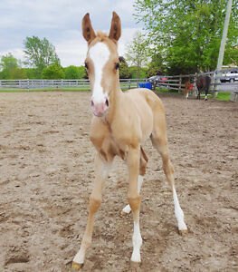 2017 Cremello Filly