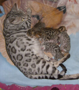 Adopt Cats & Kittens Locally in Prince George | Pets