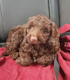 Cockerpoo puppie