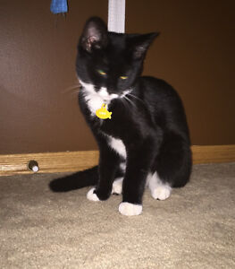 Sherwood Park lost kitten