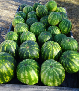 Home-grown watermelons