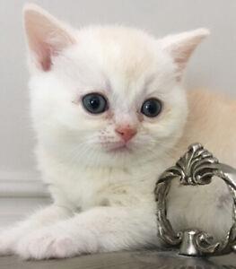 Scottish purebred kittens – 2 boys, 3 months old