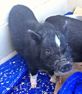 PET MINI PIGS - Only 3 Left London Ontario image 8