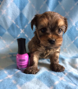 Little Teacup size Morkie puppies