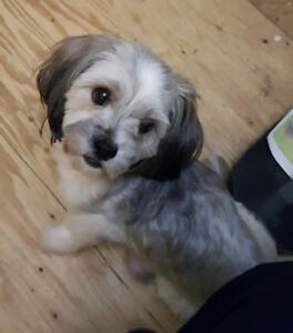 Shih-tzu Puppies for Sale ((ALL SPOKEN FOR)))