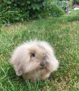 Lion head/Lop Ear 7 month old bunny with Cage