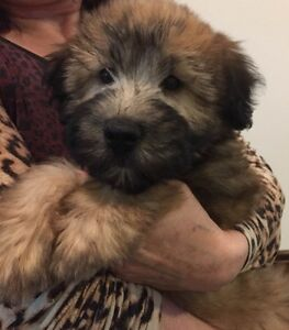 Soft Coated Wheaten Terrier 2 MALES
