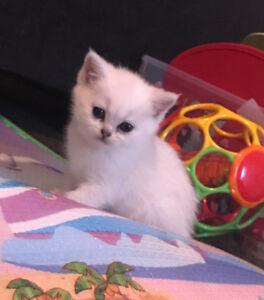 British shorthair kitten (TICA registered)