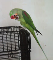 Alexandrine Female