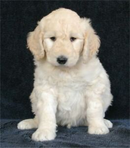 Goldendoodle Puppies - Ready to Go