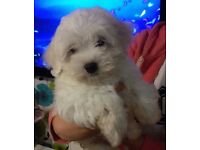 Beautiful poochon for sale