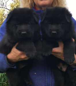 Top Quality Reg'd all black German Shepherd Puppies.