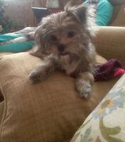 Yorkie Pomeranian  Puppy must rehome