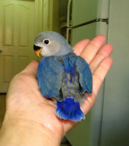 SUPER TAME handfed baby lovebird (whiteface blue)==ON HOLD