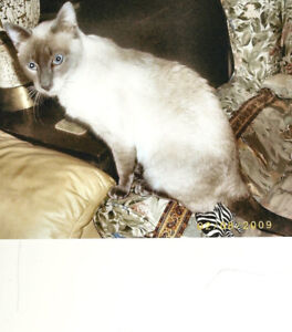 Blue Siamese cat with kinky tail is still missing in Halifax.