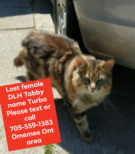 Lost cat DLH female Tabby name Turbo
