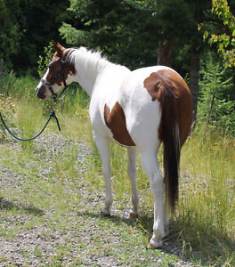 2013 Tovero APHA Filly
