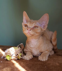 Devon Rex kitten for sale