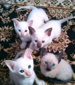❤MAGNIFIQUES CHATONS SIAMOIS❤STUNNING PURE SIAMESE KITTENS❤