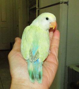 SUPER TAME handfed  baby lovebird (seagreen)