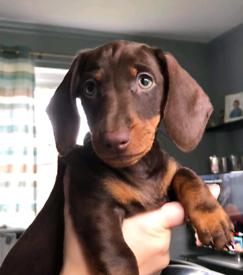 Stunning daschund puppy
