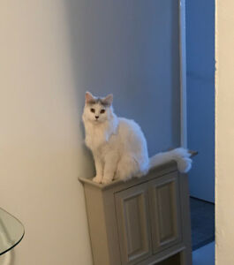 Kitty - Lost Male Cat - White with Grey Longhair