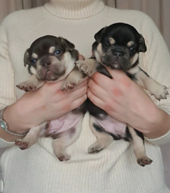 KC French Bulldog puppies Choco & Tan, Black & Tan male/female