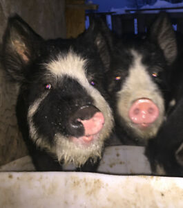 **wanted** Berkshire Piglets