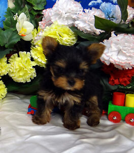 TINY LITTER TRAINED CHORKIE PUPS - 2 tiny males & 1 girl avail.