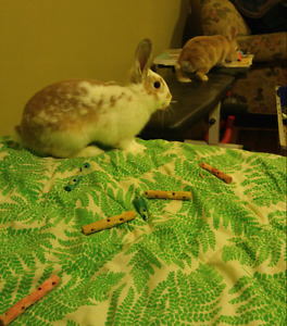 Two Spayed Female Rabbits