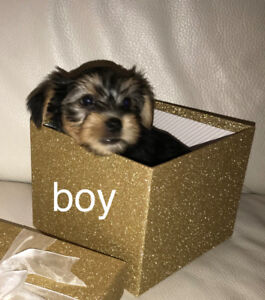 Home raised Yorkie Morkie puppies.