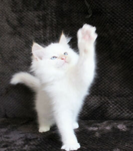 CreamPoint Ragdoll Kittens for Adoption
