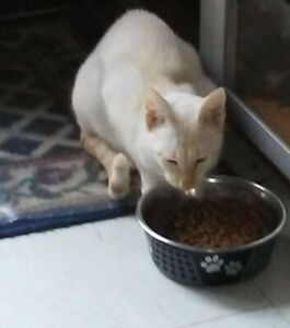 BRED Female Flame Point Siamese 2.5 yrs old
