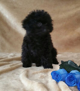 Superbe Chiot Caniche Toy  Pure Race CKC Pure Breed  Toy poodle