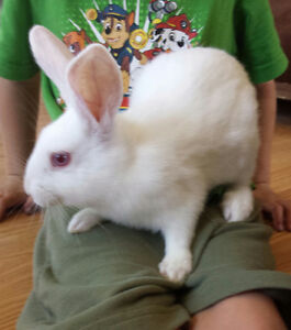 New Zealand white rabbits for sale