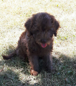 Adorable F1B MIni Labradoodles, Ready To Go !!!