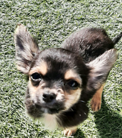 Chorkie puppies for sale