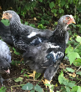 Rooster / cockerel for sale